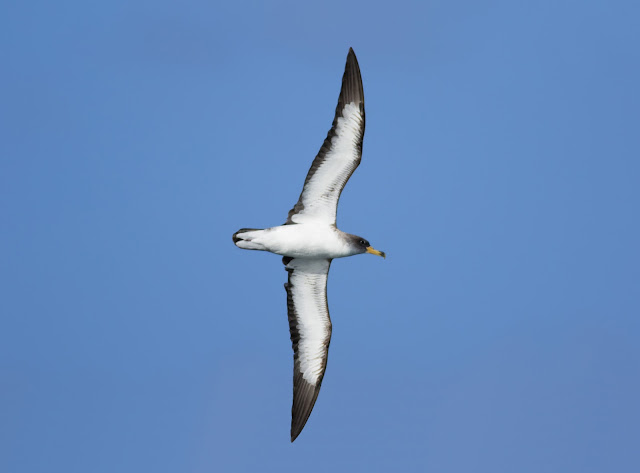 Cory's Shearwater - Scilly Isles