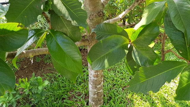 ลำต้นชมพู่มะเหมี่ยว
