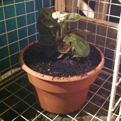 White Begonia in Container Garden