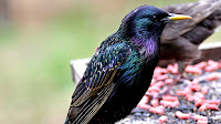 Starling bird pictures_Lamprotornis chalybaeus