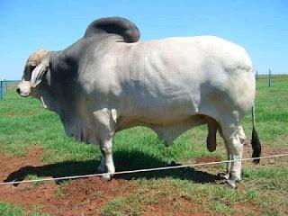 sapi besar dan gemuk