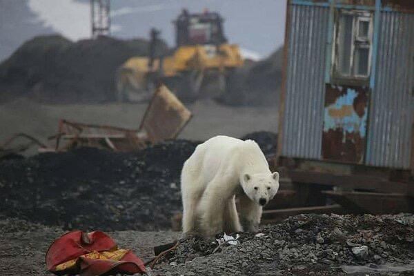 Чудесное спасение белого медведя забредшего в Норильск.