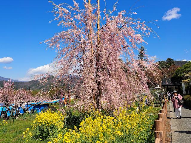 塩山 慈雲寺 桃 菜の花