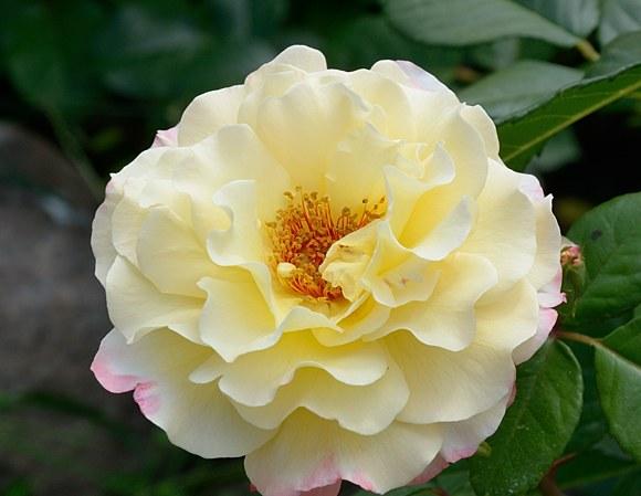 Aquarelle сорт розы фото Тантау купить саженцы Минск