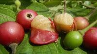 fruit around the world, strange fruit, strange fruit around the world, crazy fruit, crazy fruit around the world, KERSONFRUIT