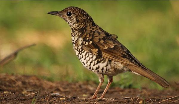 Burung Anis Sisik