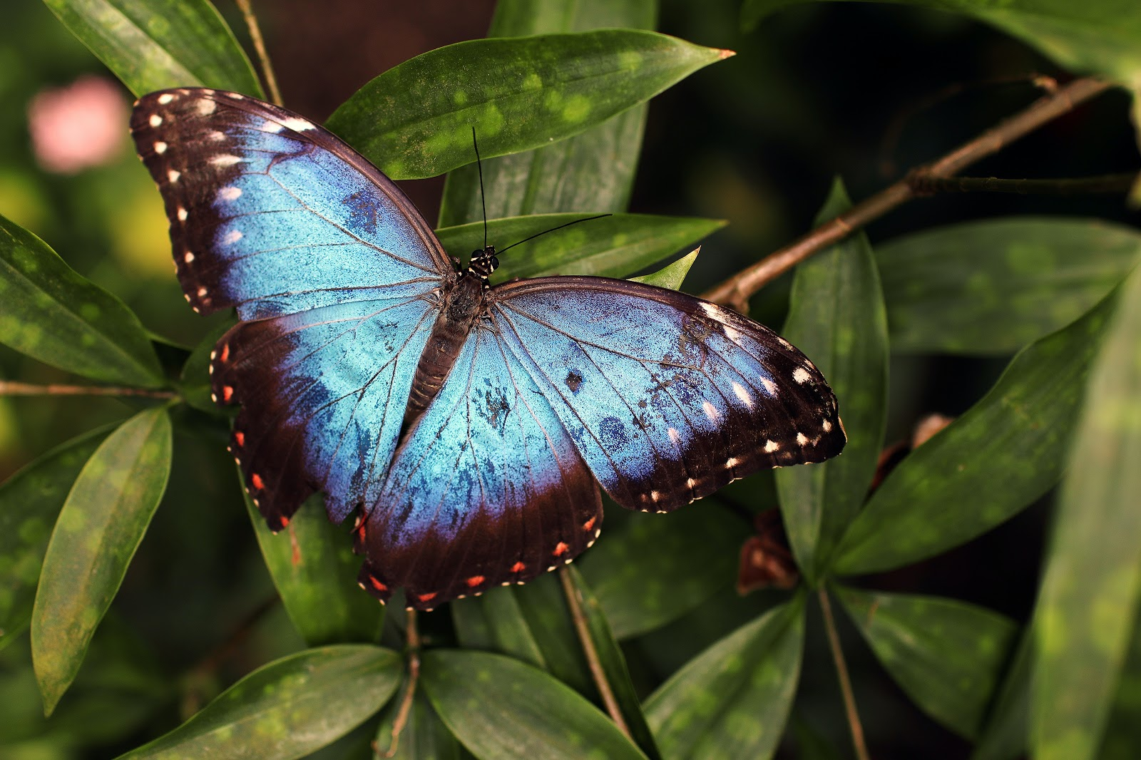 blue-and-black-butterfly-on-green-leaves-butterfly-pictures