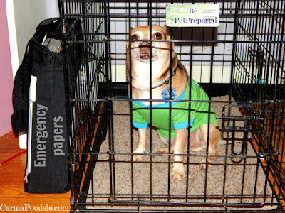 Dog in green shirt in kennel with emergency papers ready to evacuate in emergencies