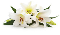 Eater lilies on a white background.