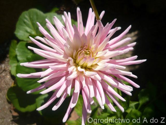 Dalia kaktusowa 'Park Princess'