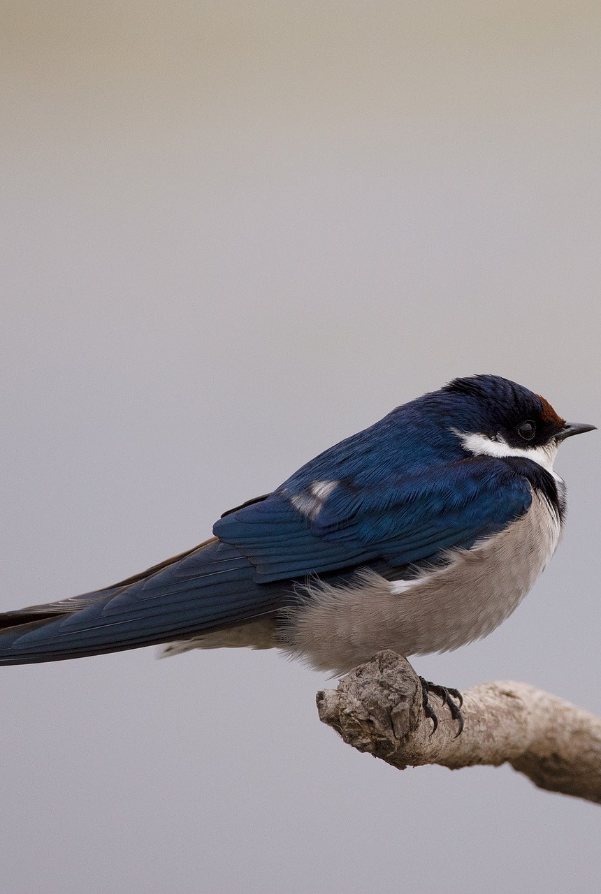 Picture of a white throated swallow.