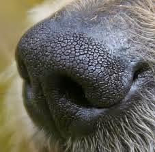 حاسه الشم عند الكلاب Sense of smell