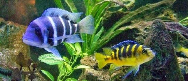 Ikan Hias Lemon? Berikut Cara Budidaya dan Merawatnya