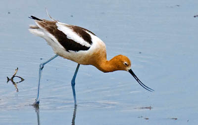 Photo of American Avocet