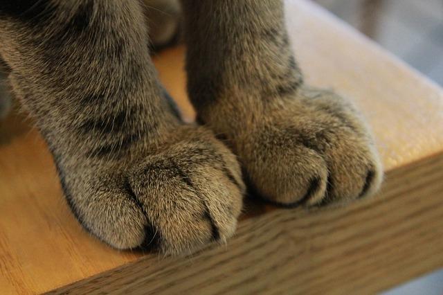 Descubra se o seu gato é destro ou canhoto