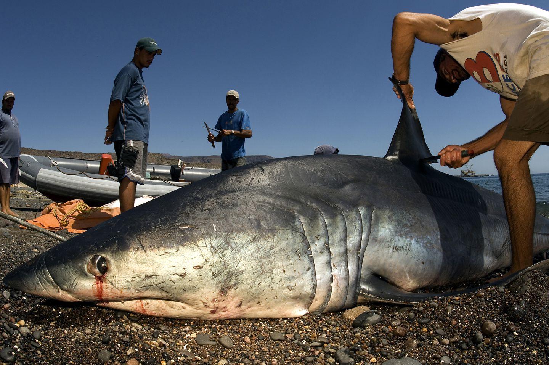 Cutting off sharks fin