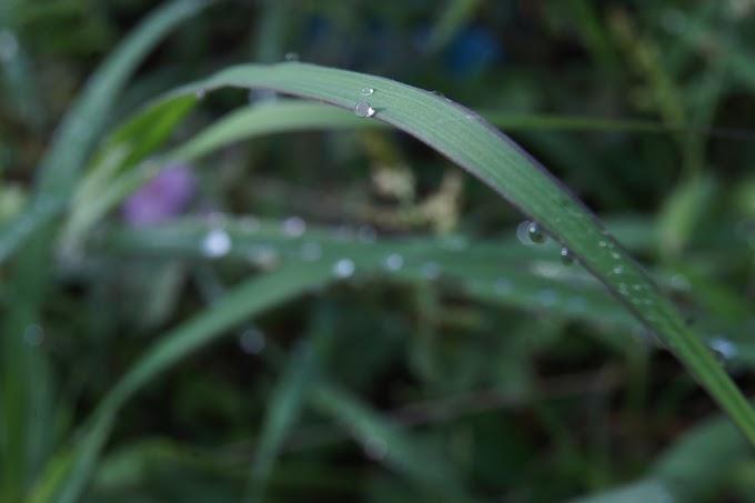 Balada rumput dan embun pagi