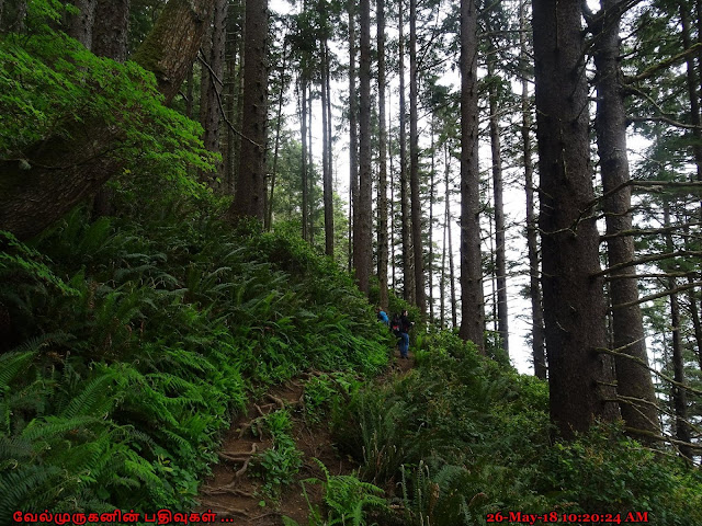 Oregon Coast Old growth forest