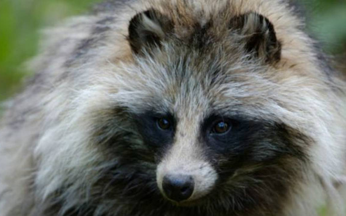 It-is-not-a-raccoon-it-is-a-raccoon-dog