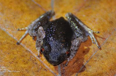 Foto katak dari genus Leptobrachium