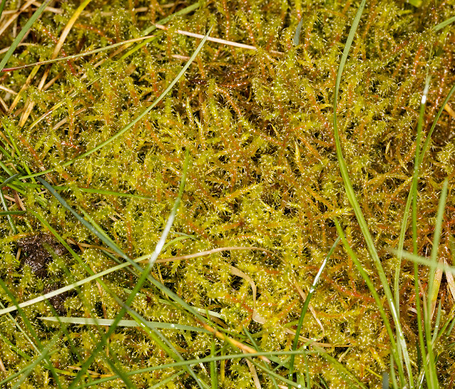 Rhytidiadelphus squarrosus, Springy Turf-moss.  Hayes Common, 9 March 2016.