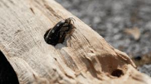Adapun jenis-jenis serangga perusak kayu yang sering ditemukan di daerah tropis dan subtropis terdiri dari rayap, kumbang, dan Hymenoptera.