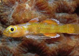 Trimmatom Nanus - 6 Jenis Ikan Kecil Yang Ditemukan Di Dunia