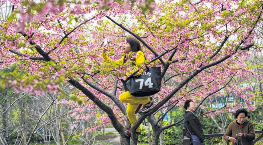 A woman taking a selfie on a tree during the first day of the nearly one-month-long Cherry Blossom Festival in Gucun Park in northern Shanghai yesterday.