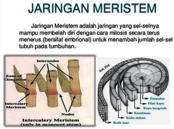 Jaringan Meristem (Jaringan Embrional) Jaringan Sel Dan Tumbuhan