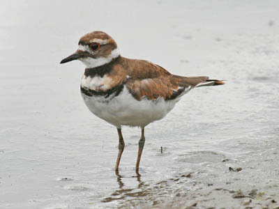 Photo of a Killdeer on a shore line