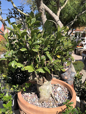 rare shaving brush tree in pot