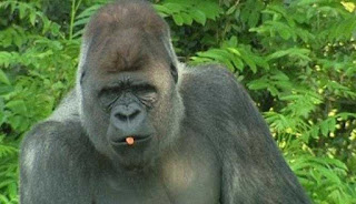 gorilla bokito, alpha male, who escaped from a dutch zoo in 2007