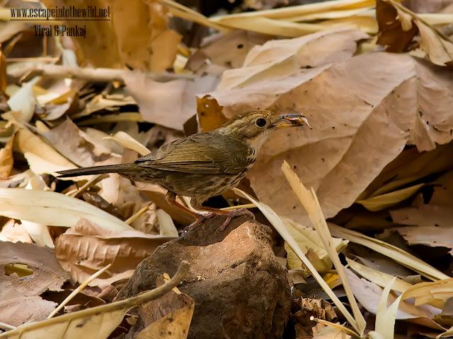 Spotted Babbler