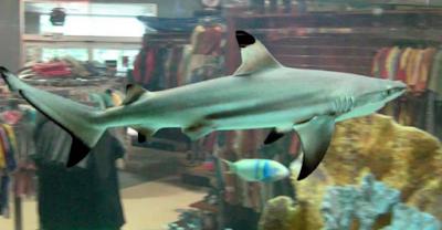 Ikan Hiu Blacktip