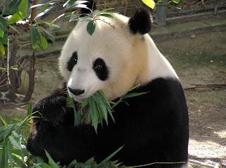 طرائف مضحكة لحيوان الباندا