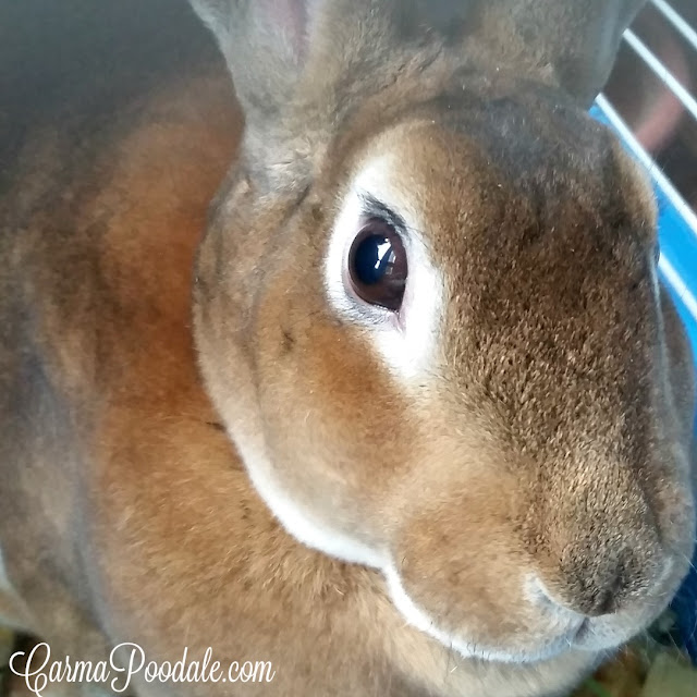 Sherman the rabbit. Brown rabbit with white around eyes -carmapoodale.com