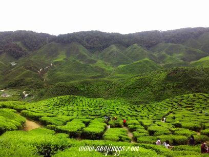 ladang teh cameron highland