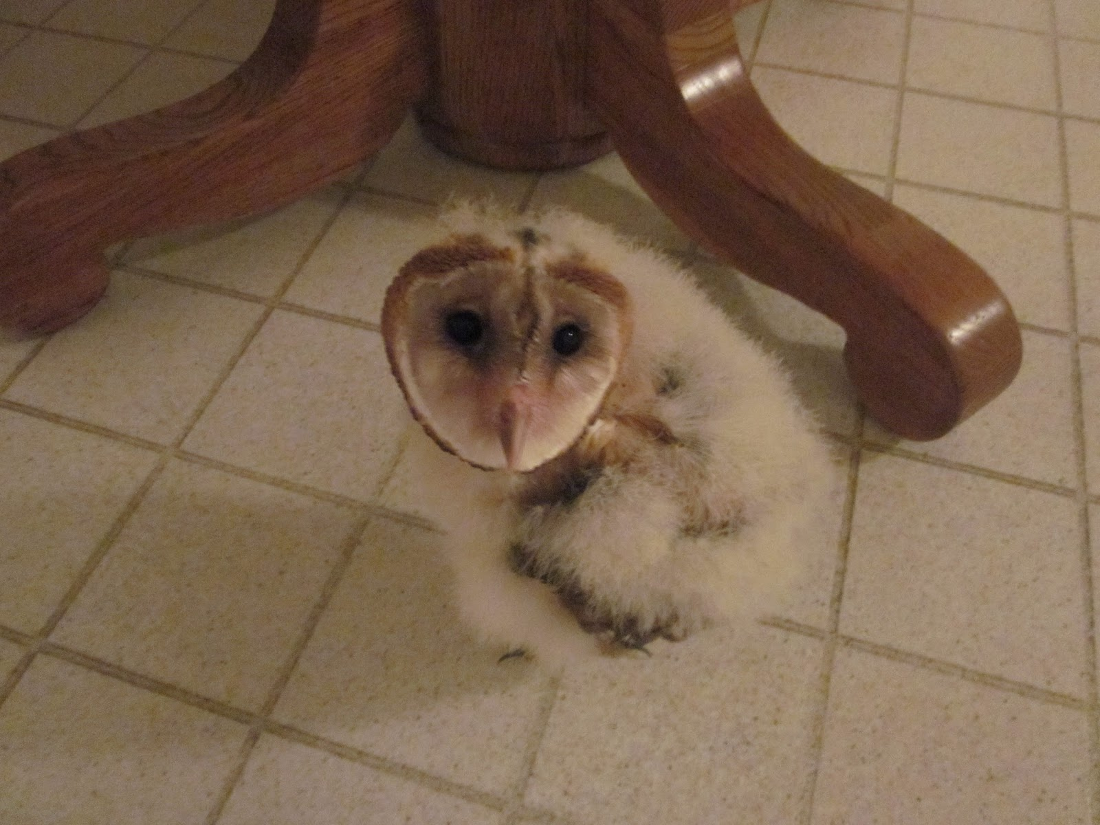 World Bird Sanctuary: Raising Baby Barn Owls for Education