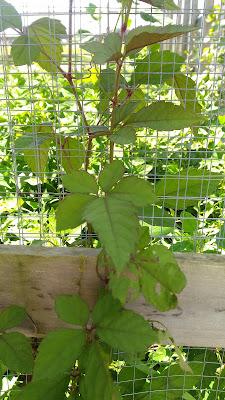 やぶがらし, Cayratia japonica, yabugarashi, ビンボウカズラ
