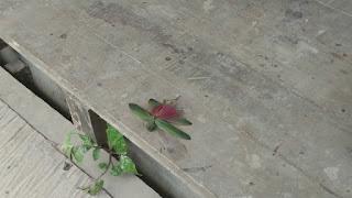dead grasshopper- Tombopato Reserve, Peru