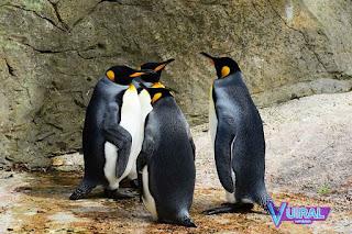 Contoh Hewan Aves - Burung Penguin