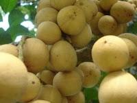 Kandungan dan manfaat buah duku palembang