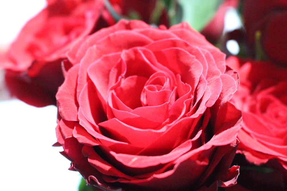 A dozen red roses - classic Valentine's Day gift - lifestyle blog