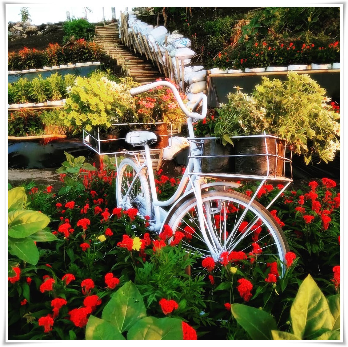 Gambar Sepeda Di Taman Bunga Matahari Bantul Resoinangun