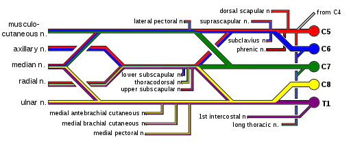 Brachial Plexus Anatomy-|Roots|Trunk|Division|Cord|branches|