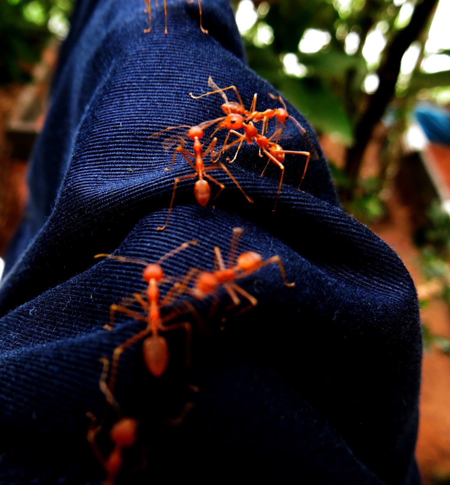Ants walking on a jean.
