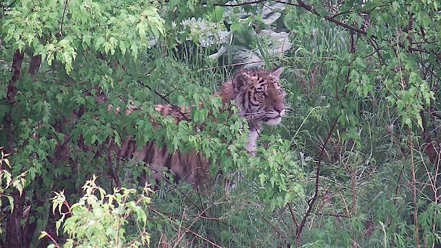 Тигрица держит в страхе целый поселок в Хабаровском крае! Видео