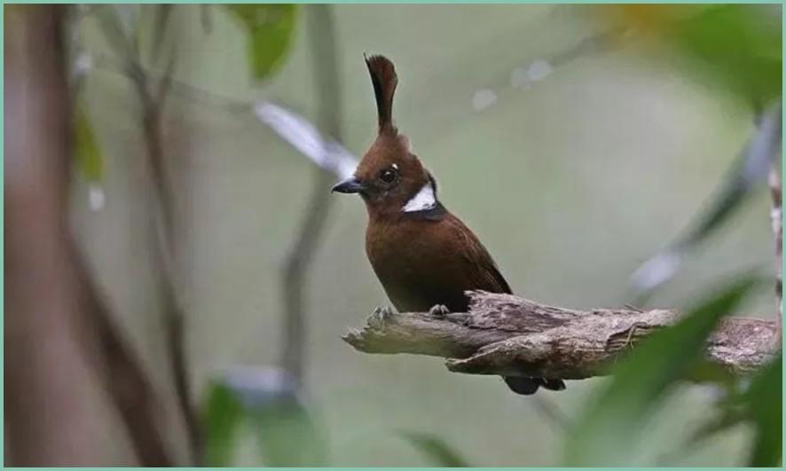Perbedaan Burung Cililin Coklat Dan Hitam Hobiku23