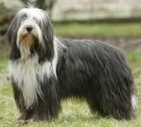 Bearded Collie Rescue Dogs For Adoption Uk