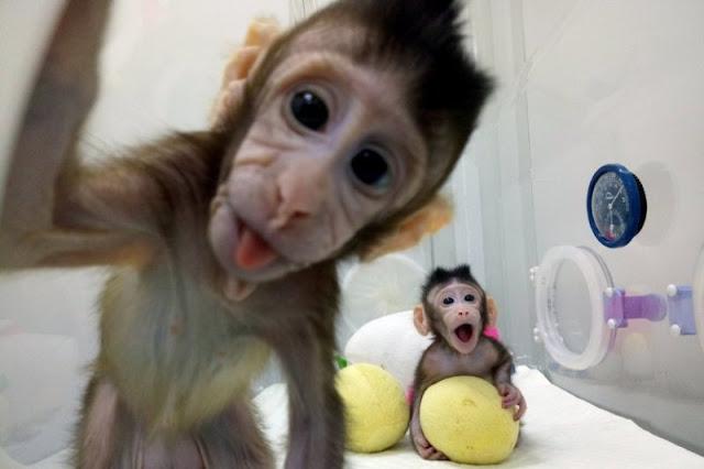 first-primates-born-using-cloning-method